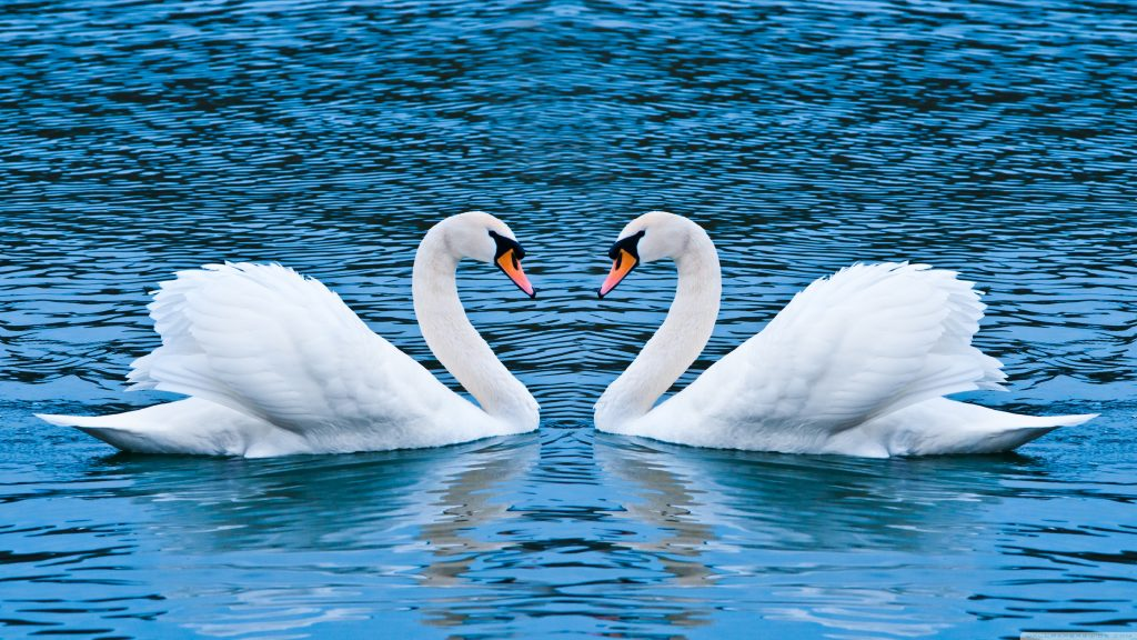 two_swans-wallpaper-3840x2160
